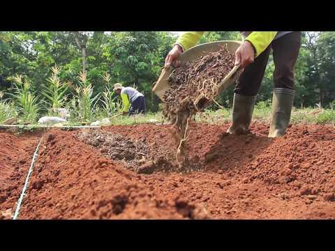 Video Teknik Menanam Brokoli