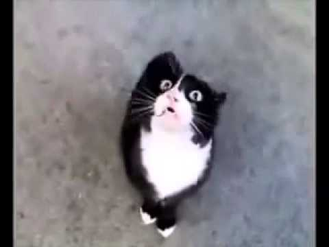 cat talking like baby