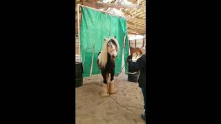 Two Year Old Gypsy Vanner Gelding For Sale