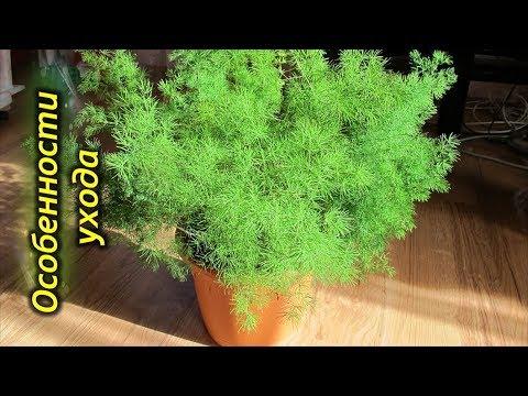 Аспарагус – секреты и особенности выращивания в домашних условиях.
