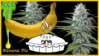 BANANA PIE ( Crockett ) | Strain Review by The Cannabis Connoisseur Connection 420