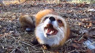 My Little Fox Learned To Talk! What Does the Fox Say in the Morning? Good morning?