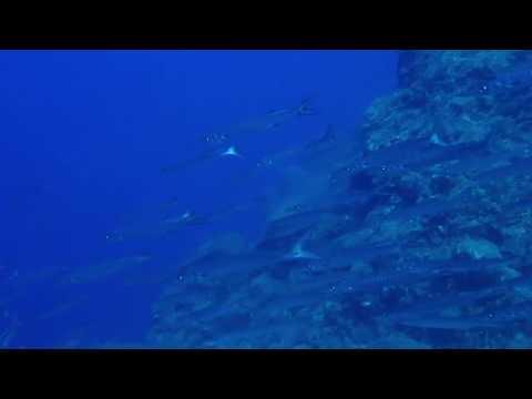 Mediterranean Barracuda