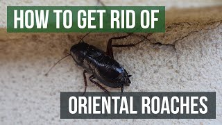 How to Get Rid of Oriental Cockroaches (Water Bug/Blackbeetle)