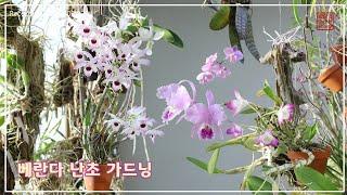 차분하게 화사한 베란다 가드닝과 함께  Korean Orchid Indoor Gardening  [화이의 난초 이야기]