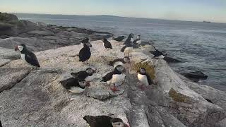 Puffin Loafing Ledge Cam 06-22-2018 16:04:23 - 17:04:24