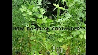 How To Grow Coriander/ Cilantro / Chinese Parsley.