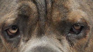 BIG SCARY Cane Corso Dog