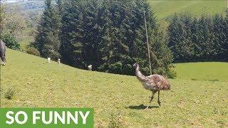 Who knew emus were such playful animals?
