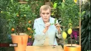 Смотреть онлайн Как вырастить дома лимоны (Лимонное дерево)
