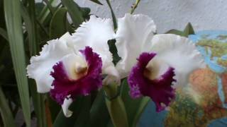 preview picture of video 'Cattleya - Blc. Kuwale Gem 'ORCHIS''