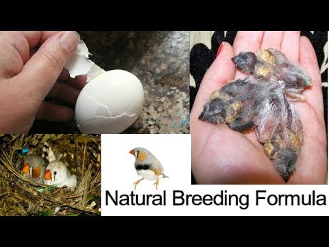 Natural Breeding Formula for finches / finches breeding tips / winter breeding finches