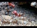 ANTS OF AZROU