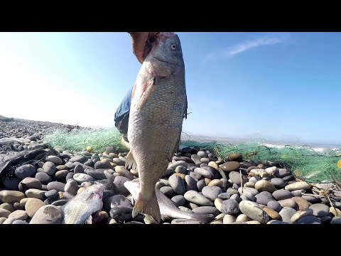 Gyrfalcon pesca Di Murmansk