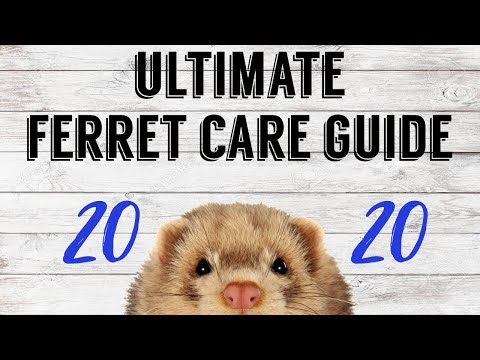 ULTIMATE FERRET CARE GUIDE 2020 | Pazuandfriends