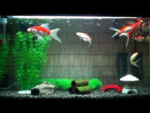 我が家の庄内金魚専用水槽(^o^)