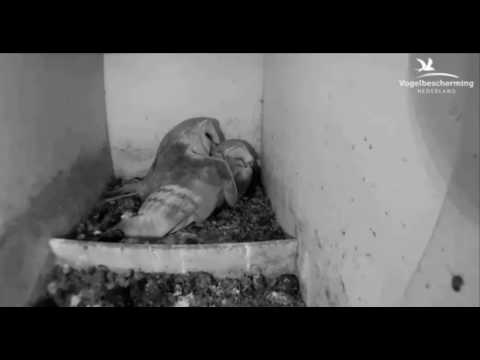 Male Brings Mouse & Mating - 06.04.17