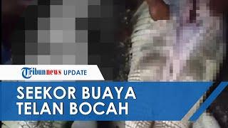 Video Detik-detik Buaya yang Telan Bocah SD Ditangkap, Keluarga Histeris saat Perut Buaya Dibedah