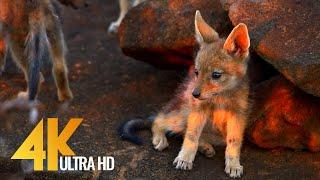 Jackals and Hyenas Africa's Predators – Wildlife Video 4K Ultra HD | 2 HOUR