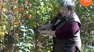 Колоновидные яблони любить или не любить видео