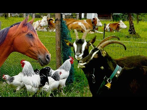 , title : 'Top25 Most beautiful Farm Animals - rare breeds of lifestock, cattle, goats chickens horse poultry