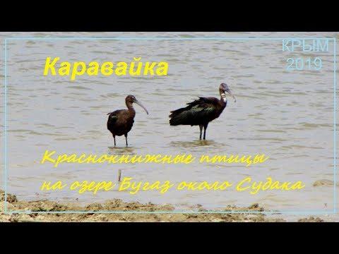 Каравайка Plegadis falcinellus в Крыму, Судак 2019, Бугаз 11 августа. Пара краснокнижных птиц