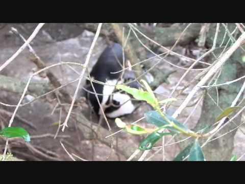 Penguin Sex Tape - South Africa 2015