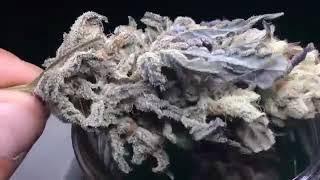 Phantom Stomper  Sour Grape Cookies  Seeds Available - big Dans Genetix - big Dans Green Thumb