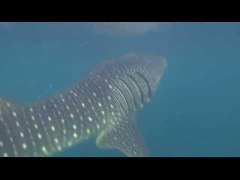 Walhaie, Tauchsafari -> Djibouti Divers (7 Brüder und Wahlhaie),Dschibuti