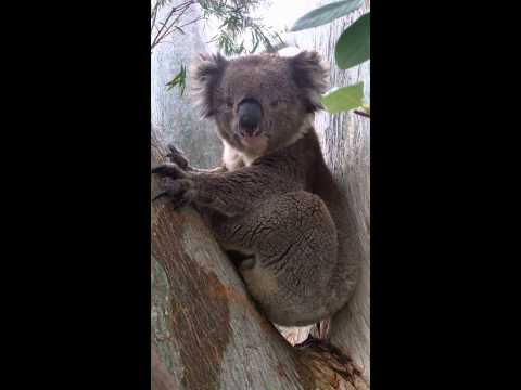 Koala chokes on mating call - funny