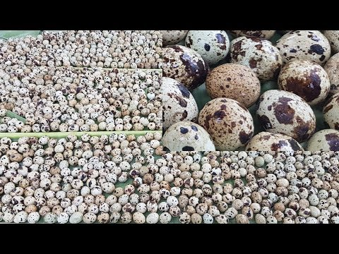 1500 Eggs Hodgepodge Cooking / Charity Food / Food For Kids / Quail Eggs Prepared By Village Women