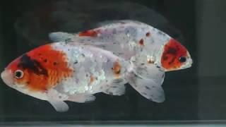 2017九州大金魚博覧会その2
