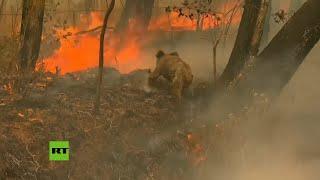 Mujer Arriesga Su Vida Para Salvar A Un Koala De Los Incendios En Australia