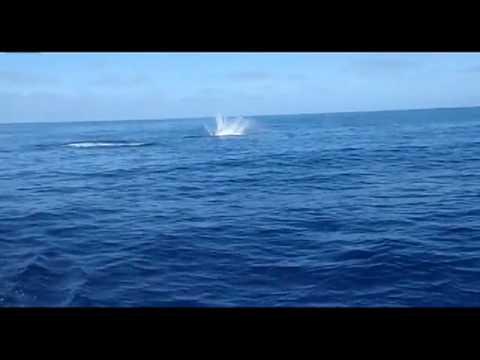 כריש במופע פעלולים בטבע - נדיר!