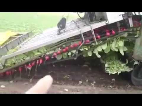 Increíble Video de cómo se Cosecha los Rabanos en la Actualidad
