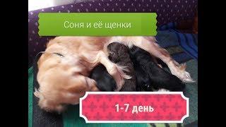 Родились щенки спаниеля. Наши первые 7 дней жизни/ милые и смешные собачки