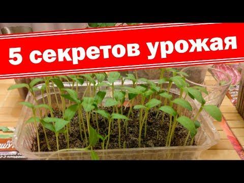 Баклажаны от посева до пикировки. Как получить хорошую рассаду баклажанов
