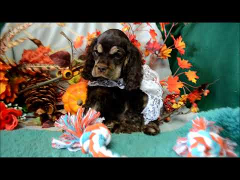 Bernie AKC Chocolate Tan Male Cocker Spaniel Puppy for sale