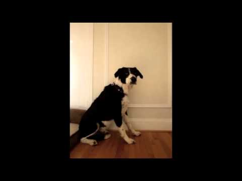 Dog Howls In Tune With Siren!
