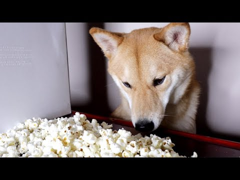 My Dog Eating Popcorn for 2 Minutes Straight. -ASMR