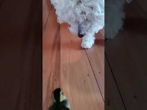 Duckling Vs Dog