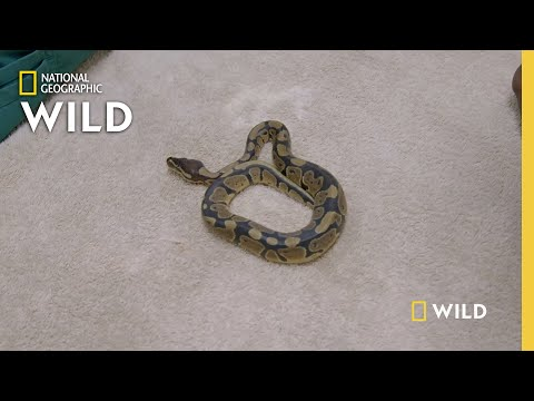 Ball Python Gender Reveal  | Critter Fixers: Country Vets