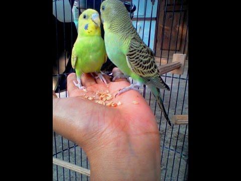 Video Cara Menjinakkan dan Melatih Burung Parkit Liar