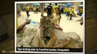 preview picture of video 'Tiger Temple Divingaddict's photos around Kanchanaburi, Thailand (pat the tigers in thailand)'