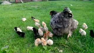 Курица и маленькие цыплята