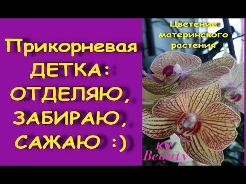 """ДЕТКА орхидеи:ОТДЕЛЯЮ и САЖАЮ прикорневую ДЕТКУ;состояние через 2,5 месяца.Phal.KV 'Beauty'(""""Бьюти"""")"""