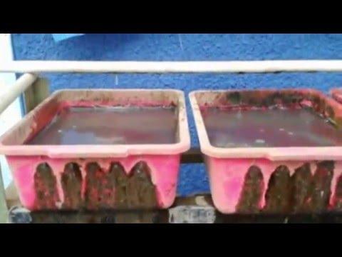 Video budidaya cacing sutra secara modern