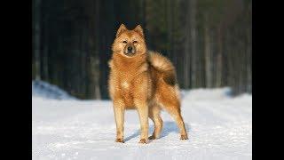 Карело Финская лайка нашла  соболя. Молодой кабель КФЛ и кабель ЗСЛ в лесу на охоте облаивают соболя