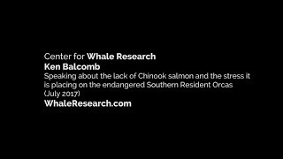 Lack of Chinook salmon and the stress it is placing on the endangered Southern Resident Orca populat