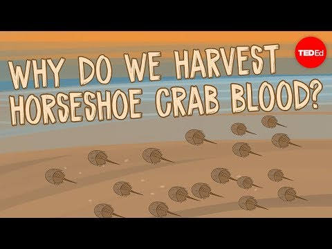 The Mystery of Horseshoe Crab Blood